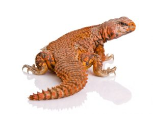 red-niger-uromastyx-for-sale[1]